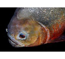 Red-bellied piranha Photographic Print