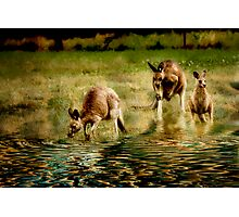 three kangaroos Photographic Print