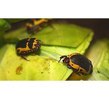 African sun beetle Photographic Print