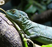 The plumed basilisk by jdmphotography