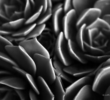 Succulence by Catherine Liversidge