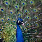 Peacock by Krys Bailey