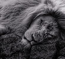 Sleeping Lion at Paradise Wildlife Park by JMChown