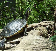 turtle turtle by lookslikerain