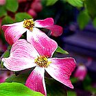 Dogwood by jpryce