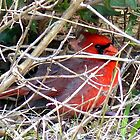 Cardinal Hideout by Penny Odom