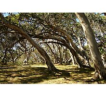 Wind Swept Snowgums,Victorian High Country Photographic Print
