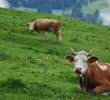 Swiss Cows by Austin Rattray