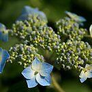 Blue Hydrangea by Sachi