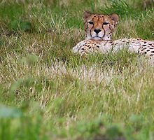 Cheetah by jdmphotography