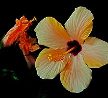 Hibiscus by jerry  alcantara