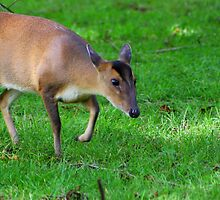 Wild Muntjac by jdmphotography