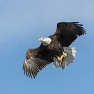 American Bald Eagle With A Fish by Thomas Young