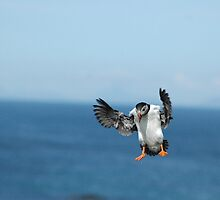 Puffin in flight by Jonathan Goddard