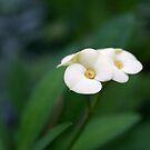 Euphorbia by Sachi