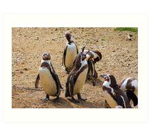 Humboldt penguins .............   Art Print