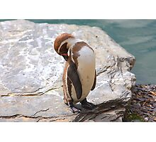 Penguin Preening ....... Photographic Print