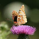 Great Spangled Fritillary-2 by BigD