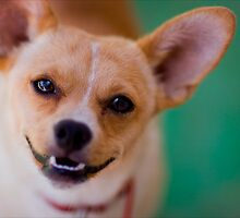 Happy Chihuahua by Lori Tingey