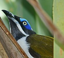 Blue-faced Honeyeater by Nick Hunt