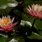 Sunburst Water Lilies by CherilynJoy