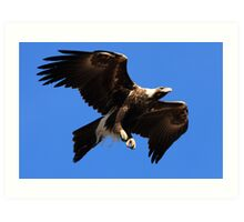 Wedge-Tailed Eagle, Tasmania Art Print