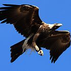 Wedge-Tailed Eagle, Tasmania by David Jamrozik