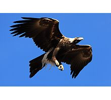 Wedge-Tailed Eagle, Tasmania Photographic Print