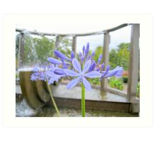 African Lily Art Print