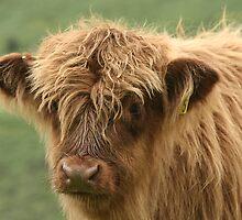 highland calf... by Ken McKillop