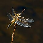 FOUR-SPOTTED SKIMMER by Sandy Stewart