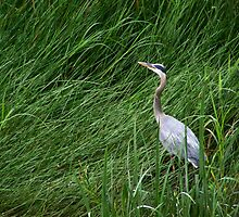 Heron in Tall Grass by Robert Goulet