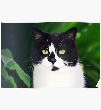 Black and white cat looking at camera Poster