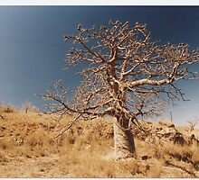 Boab Tree Cossack WA by AndrewBentley