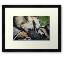 Wild dog napping Framed Print