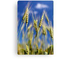 Wheat field closeup Canvas Print