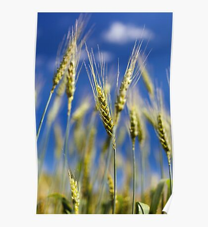 Wheat field closeup Poster