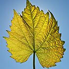 Vine Leaf  by BenClarkImagery