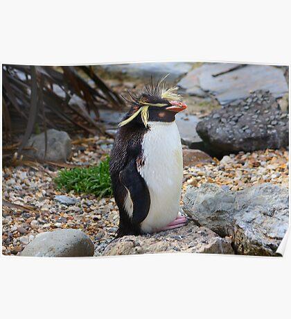 Rockhopper Penguin......... Poster