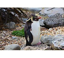 Rockhopper Penguin......... Photographic Print