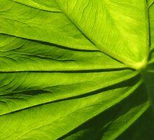 Sun Backlit Elephant Leaf by rogerlloyd