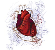 drawing of the heart, anatomical Photographic Print