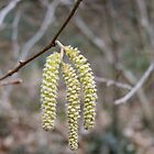 Catkins by AnnDixon