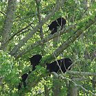 bear family tree by dc witmer