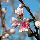 Nectarine Blossom by Jan Richardson