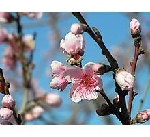 Nectarine Blossom Photographic Print