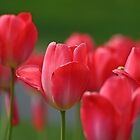 Pink Tulips by GreyFeatherPhot