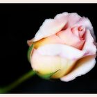 A Rose by Keren Smithies