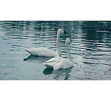 Whistlers Or Tundra Swans Photographic Print