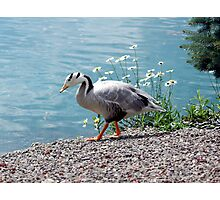 Bar Head Goose Photographic Print